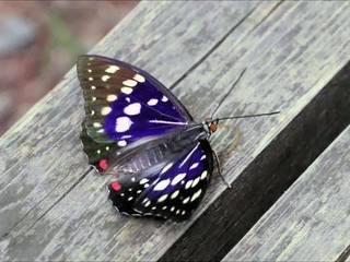 蝶の翅.jpg