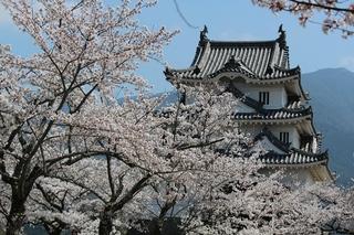宇和島の桜.jpg