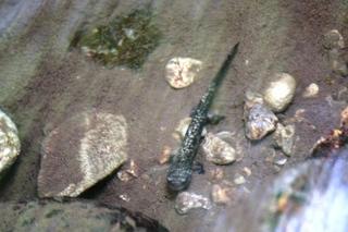 山椒魚.jpg