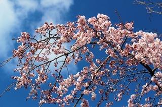 春うらら.jpg
