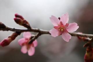 桜花.jpg