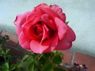 真っ赤なバラ.jpg