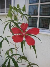 紅葉葵.jpg