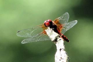 紅蜻蛉.jpg