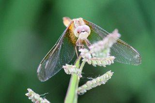 蜻蛉正面.jpg