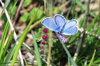 青い蝶.jpg